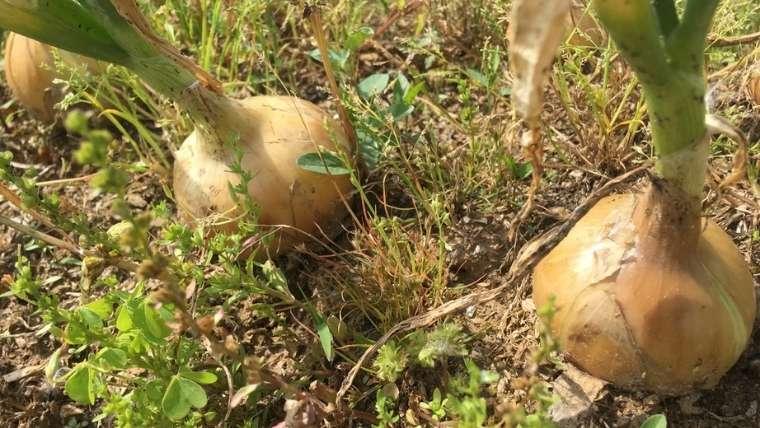 玉ねぎ栽培について