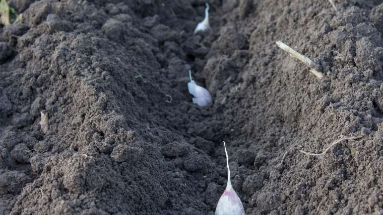 ニンニクの植えつけ