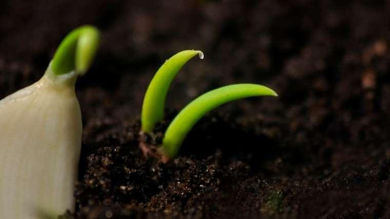 ニンニクの芽が出ない