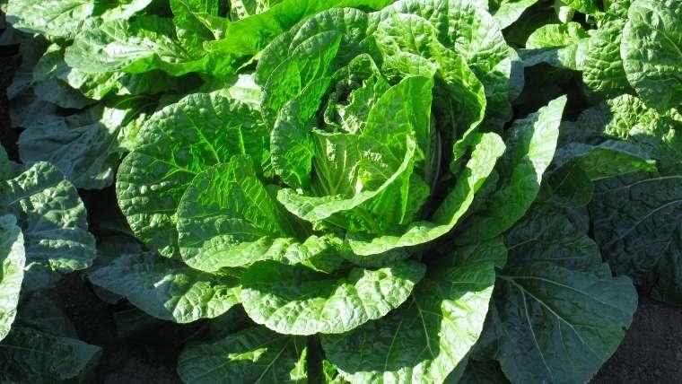 白菜栽培について