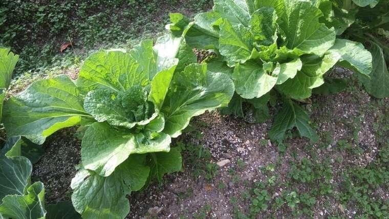 白菜の1回目の追肥・土寄せ