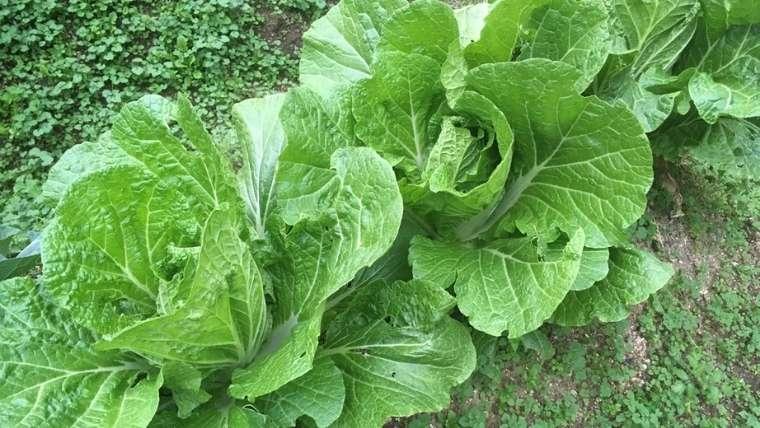 白菜の2回目の追肥・土寄せ