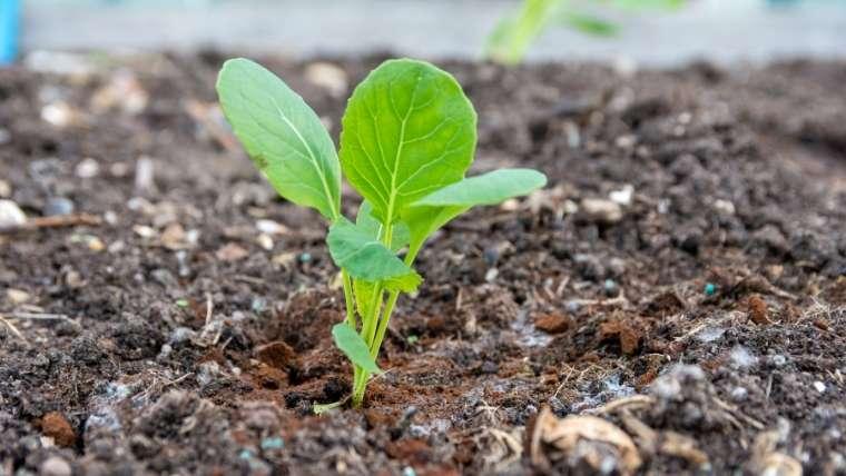 芽キャベツの植えつけ