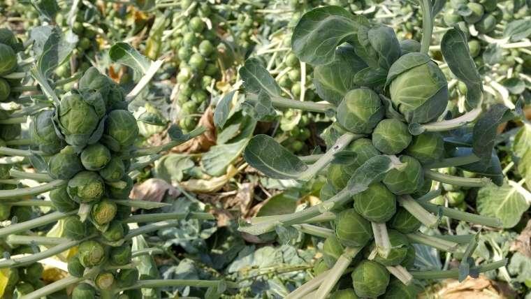 芽キャベツの収穫