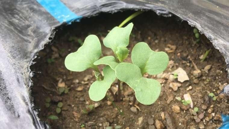 ブロッコリーの発芽