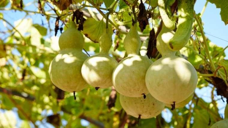 ヒョウタン栽培について