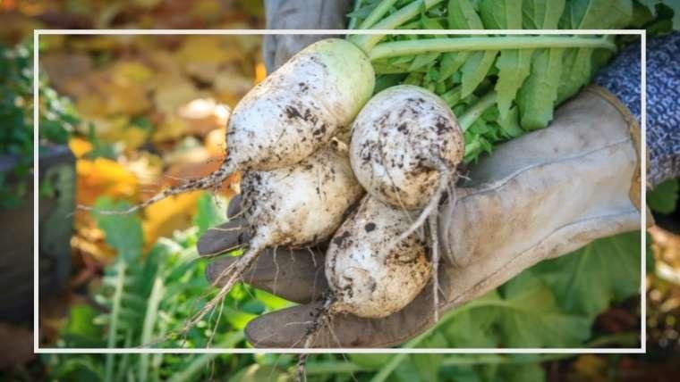辛みダイコンの育て方・栽培方法