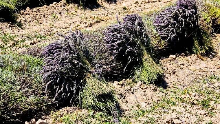 ラベンダーの収穫