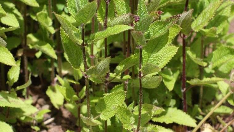 チョロギの葉
