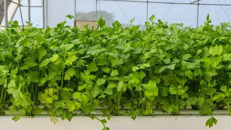 キンサイ(スープセロリ、オランダミツバ)の収穫