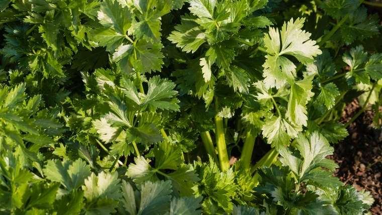 キンサイ(スープセロリ、オランダミツバ)の植えつけ