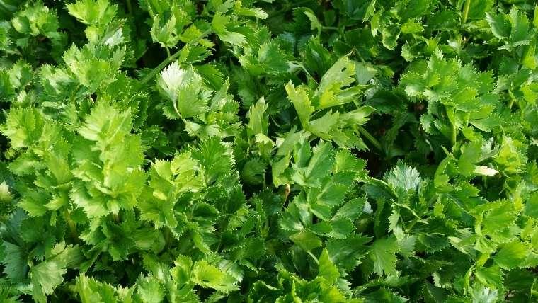 キンサイ(スープセロリ、オランダミツバ)のプランター栽培
