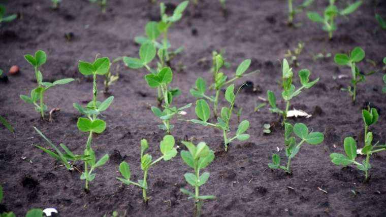豆苗の植えつけ