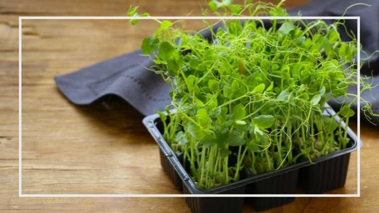 豆苗の育て方・栽培方法
