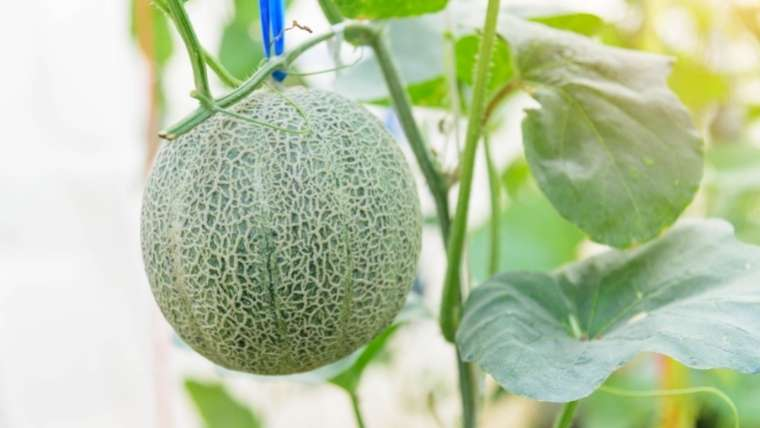 メロンの雨よけ栽培