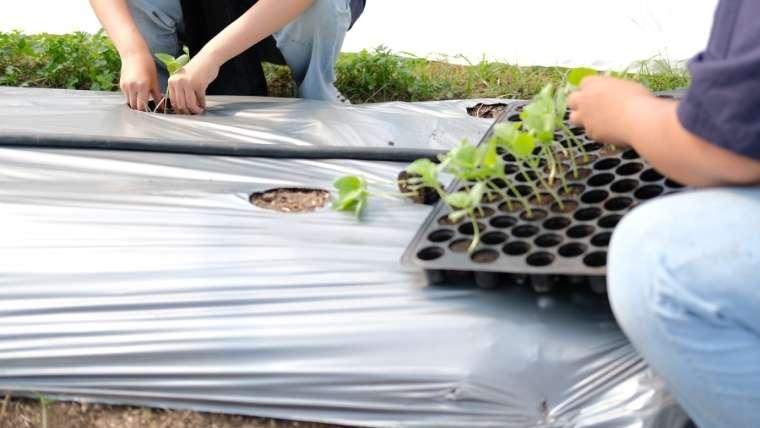 メロンの苗の植えつけ