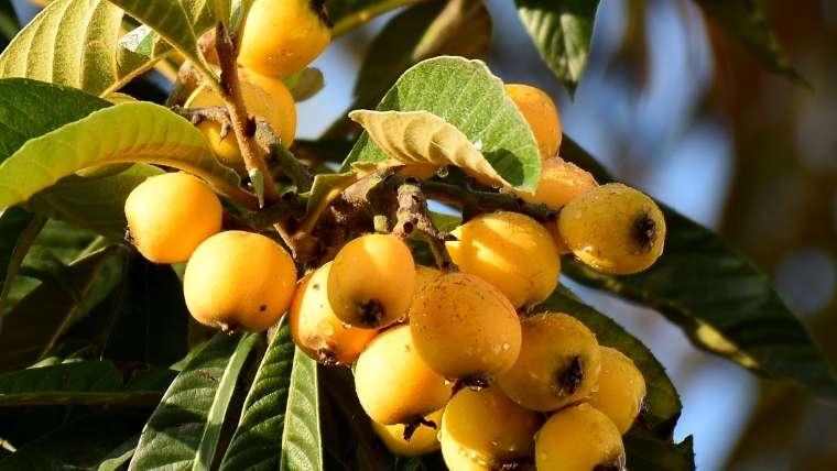 ビワの葉木酢エキス