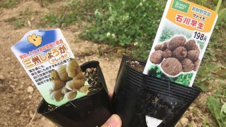 サトイモとショウガの混植