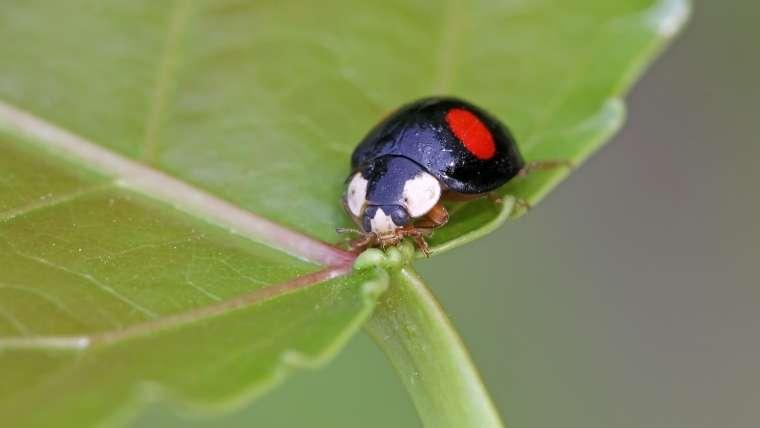ナミテントウの成虫