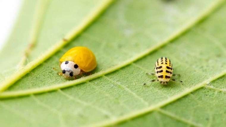 キイロテントウの成虫と幼虫