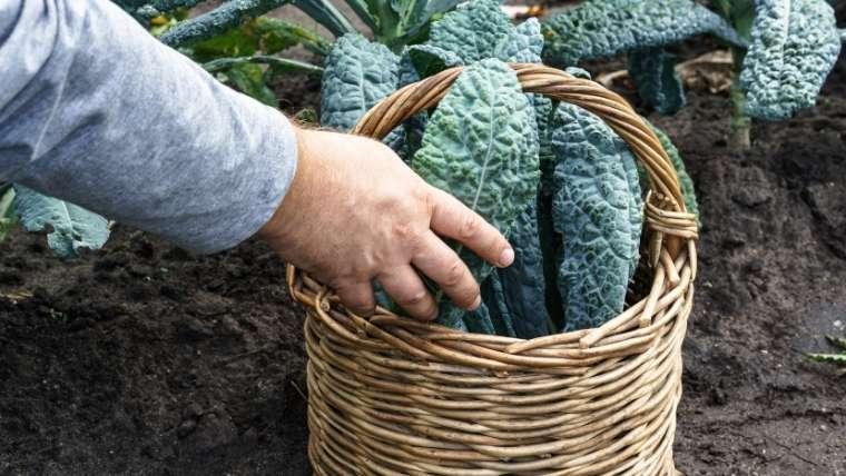 カーボロネロの収穫