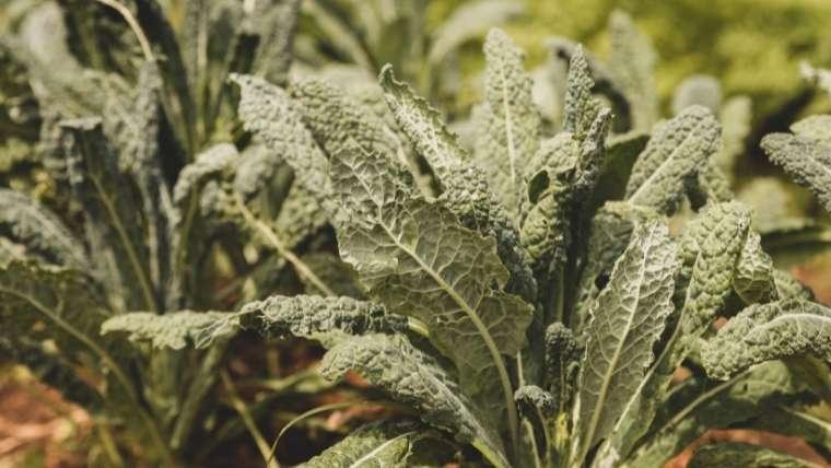 カーボロネロ栽培について