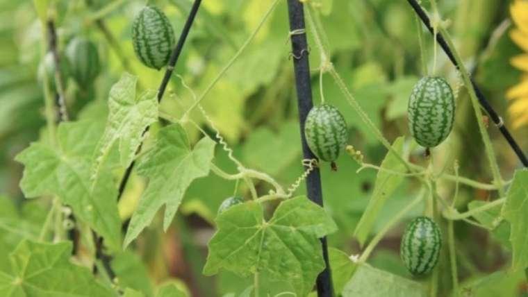 キュウリメロンの収穫