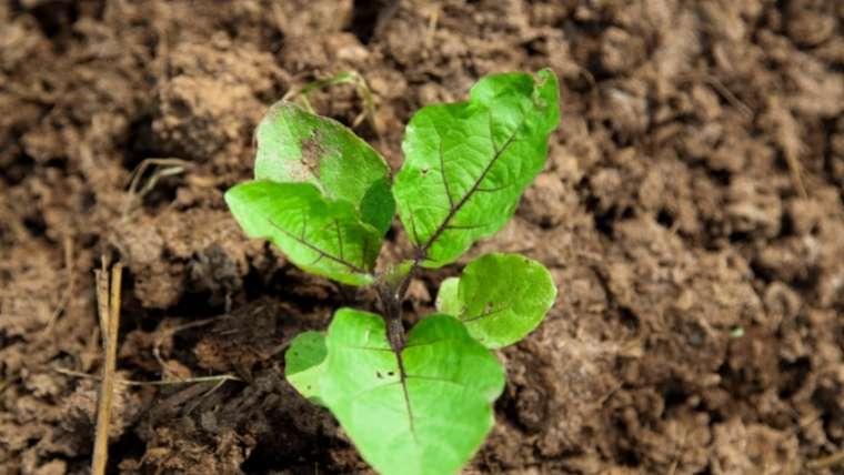 イタリアナスの植えつけ