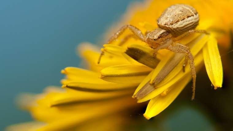 ヤミイロカニグモ