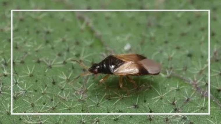 【益虫】ヒメハナカメムシの生態とは?